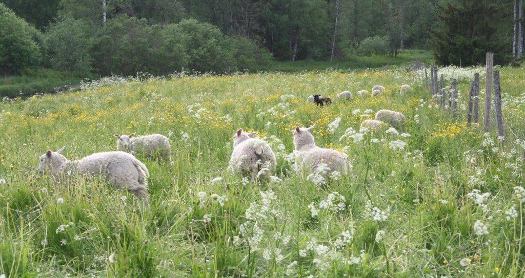 SLIDE_tuiskulan_kotikolo_lammas